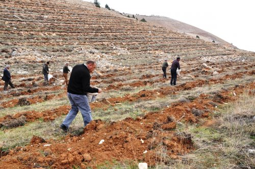 Tunceli'nin dağlarına sedir tohumları ekiliyor