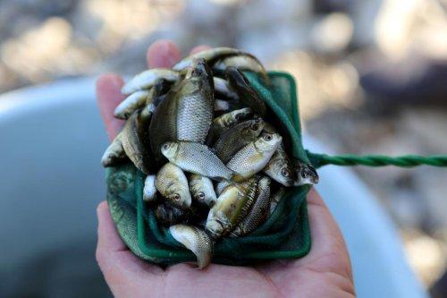 Bilinçsiz balıklandırma, yerli balık türlerini yok ediyor