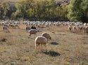 Koyunlar, sertifikalı çobanlara emanet edilecek