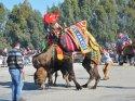 Didim'de deve güreşleri