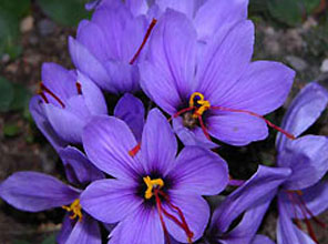 Samanyolu haber Safran Çiçeği Bitkisi