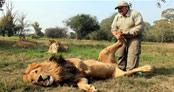 Dünyanın en ünlü aslanı Cecil öldürüldü