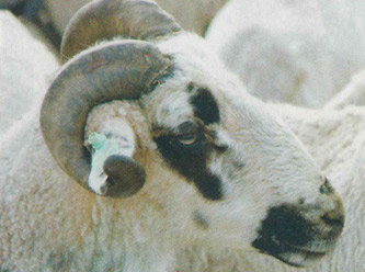 Sakız koyunu ıslah edilecek