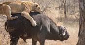 İki dev hayvan arasında amansız mücadale!