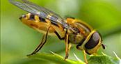 İşte bal arısının bir muhteşem yönü daha