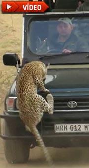 Leopar tur aracına saldırdı!