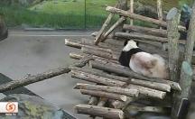 Ufak sincap dev pandanın neredeyse aklını alıyordu -video