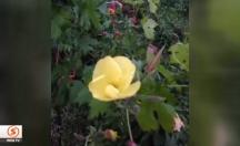 Ezan çiçeği görenleri hayretler içerisinde bırakıyor! -video