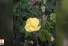 Ezan çiçeği görenleri hayretler içerisinde bırakıyor!