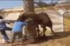 Kızgın deve sahibini kafasından tutup fırlattı