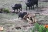 Bufalo, aslanlara yem olmaktan son anda kurtuldu!