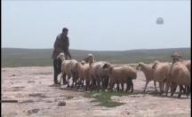 Çobanlardan ilginç yöntem -video