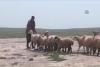 Çobanlardan ilginç yöntem